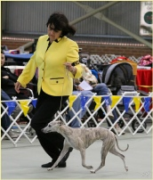 At 2014 Whippet Association of Victoria Specialty